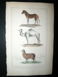 Cuvier C1835 Antique Hand Col Print. Couagga, Dromedary, Lama, 53